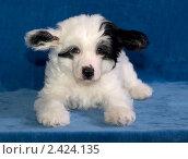Купить «Щенок пуховой китайской хохлатой собаки», фото № 2424135, снято 16 января 2011 г. (c) Gabidullin Oleg / Фотобанк Лори