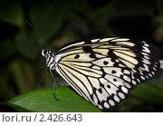 Тропическая бабочка. Стоковое фото, фотограф Pshenichka / Фотобанк Лори
