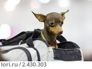 Купить «Собака породы пражский крысарик (ратлик)», фото № 2430303, снято 26 марта 2011 г. (c) Сергей Лаврентьев / Фотобанк Лори