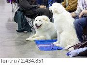 """Купить «На выставке собак """"Евразия""""», фото № 2434851, снято 26 марта 2011 г. (c) Сергей Лаврентьев / Фотобанк Лори"""