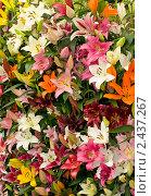 Купить «Лилии в парке Кекенхоф», фото № 2437267, снято 13 мая 2010 г. (c) Арсений Герасименко / Фотобанк Лори