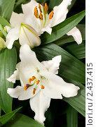 Купить «Крупным планом цветы лилии», фото № 2437415, снято 13 мая 2010 г. (c) Арсений Герасименко / Фотобанк Лори