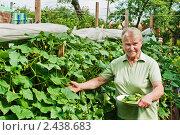 Женщина на даче собирает огурцы. Стоковое фото, фотограф Ирина Завьялова / Фотобанк Лори
