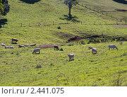 Стадо коров на пастбище в Австралии (2010 год). Стоковое фото, фотограф Elena Monakhova / Фотобанк Лори