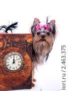 Купить «Щенок йоркширского терьера и часы», фото № 2463375, снято 9 апреля 2011 г. (c) Ирина Игумнова / Фотобанк Лори