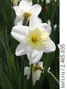 Купить «Белые нарциссы», фото № 2465035, снято 2 мая 2008 г. (c) Анна Жигалова / Фотобанк Лори