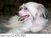 Белая собака породы Китайская Хохлатая. Стоковое фото, фотограф Виктория Кириллова / Фотобанк Лори