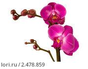 Лиловая орхидея на белом фоне изоляция. Стоковое фото, фотограф Мамышева Наталья Васильевна / Фотобанк Лори