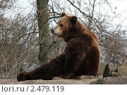 Купить «Бурый медведь», фото № 2479119, снято 12 апреля 2011 г. (c) Людмила Травина / Фотобанк Лори