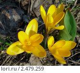 Купить «Крокусы», фото № 2479259, снято 31 марта 2007 г. (c) Надежда Стародубцева / Фотобанк Лори