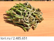 Купить «Побеги съедобного папоротника», эксклюзивное фото № 2485651, снято 19 апреля 2011 г. (c) Анна Мартынова / Фотобанк Лори