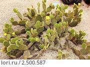 Купить «Кактус Opuntia microdasys», фото № 2500587, снято 27 мая 2010 г. (c) Татьяна Крамаревская / Фотобанк Лори