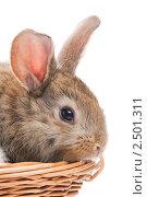 Купить «Крольчонок в корзине», фото № 2501311, снято 3 августа 2020 г. (c) Дмитрий Калиновский / Фотобанк Лори