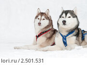 Купить «Ездовые собаки», фото № 2501531, снято 23 октября 2018 г. (c) Дмитрий Калиновский / Фотобанк Лори