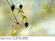 Лиана Княжик Охотский (Atragene ochotensis Pall.) на нежно-зеленом фоне. Стоковое фото, фотограф Dmitry S. Marshavin / Фотобанк Лори