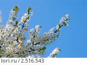 Купить «Цветущие ветви вишни», фото № 2516543, снято 2 мая 2008 г. (c) Евгений Дробжев / Фотобанк Лори