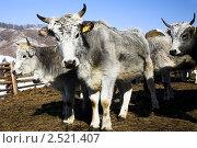 Купить «Серые коровы», фото № 2521407, снято 15 февраля 2011 г. (c) Коваль Василий / Фотобанк Лори