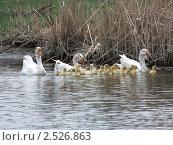 Гусиное семейство. Стоковое фото, фотограф Vladimir Kacher / Фотобанк Лори