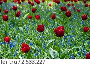 Купить «Красные тюльпаны в парке», фото № 2533227, снято 21 марта 2011 г. (c) Елена Поминова / Фотобанк Лори