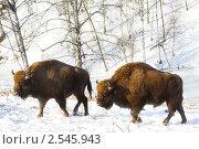 Купить «Два зубра», фото № 2545943, снято 17 февраля 2011 г. (c) Коваль Василий / Фотобанк Лори