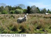 Ирландский пейзаж с овечкой. Стоковое фото, фотограф Татьяна Кахилл / Фотобанк Лори