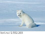 Белый песец, фото № 2552203, снято 8 мая 2011 г. (c) Максим Деминов / Фотобанк Лори