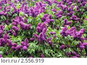 Купить «Сирень в Ботаническом саду МГУ», фото № 2556919, снято 21 мая 2011 г. (c) Илюхина Наталья / Фотобанк Лори