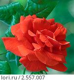 Бутон розы морковного цвета в саду. Стоковое фото, фотограф Владимир Борисов / Фотобанк Лори