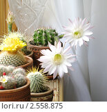 Купить «Цветущие кактусы», фото № 2558875, снято 11 мая 2009 г. (c) Галина Хорошман / Фотобанк Лори