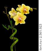 Купить «Жёлтые орхидеи на чёрном фоне», фото № 2561923, снято 29 мая 2011 г. (c) Ласточкин Евгений / Фотобанк Лори