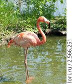 Купить «Розовый фламинго. Московский зоопарк», фото № 2566251, снято 29 мая 2011 г. (c) Екатерина Овсянникова / Фотобанк Лори