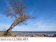 Дерево на берегу моря. Стоковое фото, фотограф Dmitry S. Marshavin / Фотобанк Лори
