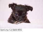 Купить «Портрет чёрного щенка», фото № 2569955, снято 28 мая 2011 г. (c) Типляшина Евгения / Фотобанк Лори