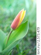 Желто-красный тюльпан в зеленой траве. Стоковое фото, фотограф Алена Зубакова / Фотобанк Лори