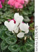Белый цикламен. Стоковое фото, фотограф Анжелика Сеннова / Фотобанк Лори