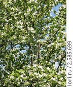 Купить «Ветви яблони», эксклюзивное фото № 2585699, снято 29 мая 2011 г. (c) Михаил Карташов / Фотобанк Лори