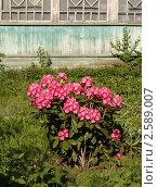 Цветущий финский рододендрон на старой даче. Стоковое фото, фотограф Елена Мумрина / Фотобанк Лори