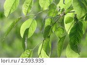 Зеленая листва. Стоковое фото, фотограф Tatiana Aprel'skaya / Фотобанк Лори