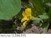 Цветок и завязь огурца на грядке. Стоковое фото, фотограф Екатерина Жукова / Фотобанк Лори