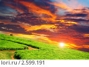 Плантация чая на закате, Уганда (2010 год). Стоковое фото, фотограф Знаменский Олег / Фотобанк Лори