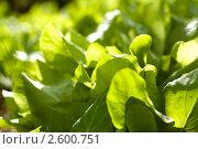 Листья салата. Стоковое фото, фотограф Ольга Шабалкина / Фотобанк Лори