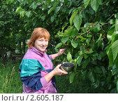 Купить «Дачница собирает урожай черной шелковицы», эксклюзивное фото № 2605187, снято 19 июня 2011 г. (c) Анна Мартынова / Фотобанк Лори