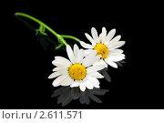 Купить «Цветы ромашки на черном фоне», фото № 2611571, снято 20 июня 2011 г. (c) ElenArt / Фотобанк Лори