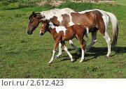 Купить «Лошадь с жеребенком», фото № 2612423, снято 20 июня 2011 г. (c) Татьяна Кахилл / Фотобанк Лори