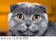 Купить «Портрет серой шотландской вислоухой кошки», фото № 2618059, снято 19 июня 2011 г. (c) RedTC / Фотобанк Лори