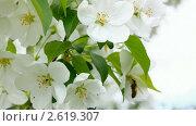 Купить «Пчела на цветке яблони», видеоролик № 2619307, снято 25 мая 2011 г. (c) Михаил Коханчиков / Фотобанк Лори