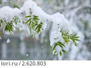 Купить «Заснеженная ветка рябины», фото № 2620803, снято 23 мая 2011 г. (c) Икан Леонид / Фотобанк Лори