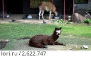 Купить «Коричневая лама лежит на траве», видеоролик № 2622747, снято 31 июля 2010 г. (c) Гурьянов Андрей / Фотобанк Лори