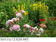 Купить «Розовая роза в саду. Фрагмент цветника», фото № 2624443, снято 25 июня 2011 г. (c) Natalya Sidorova / Фотобанк Лори