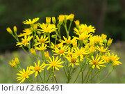 Желтые цветы. Стоковое фото, фотограф Алексей Петренко / Фотобанк Лори